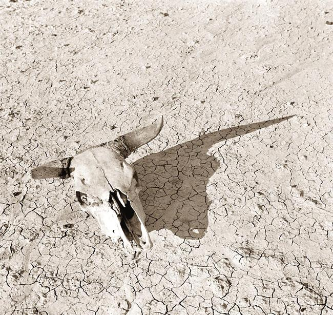 bleached-skull-steer.jpg