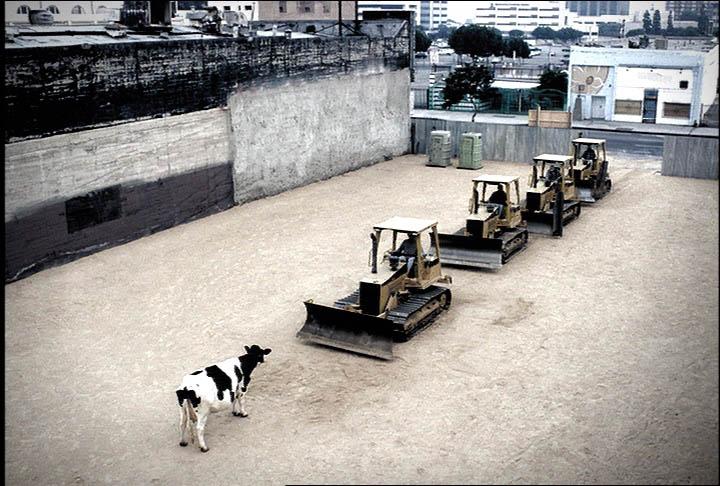 tiananman-square-cow.jpg