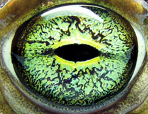 eye-of-a-european-green-toad