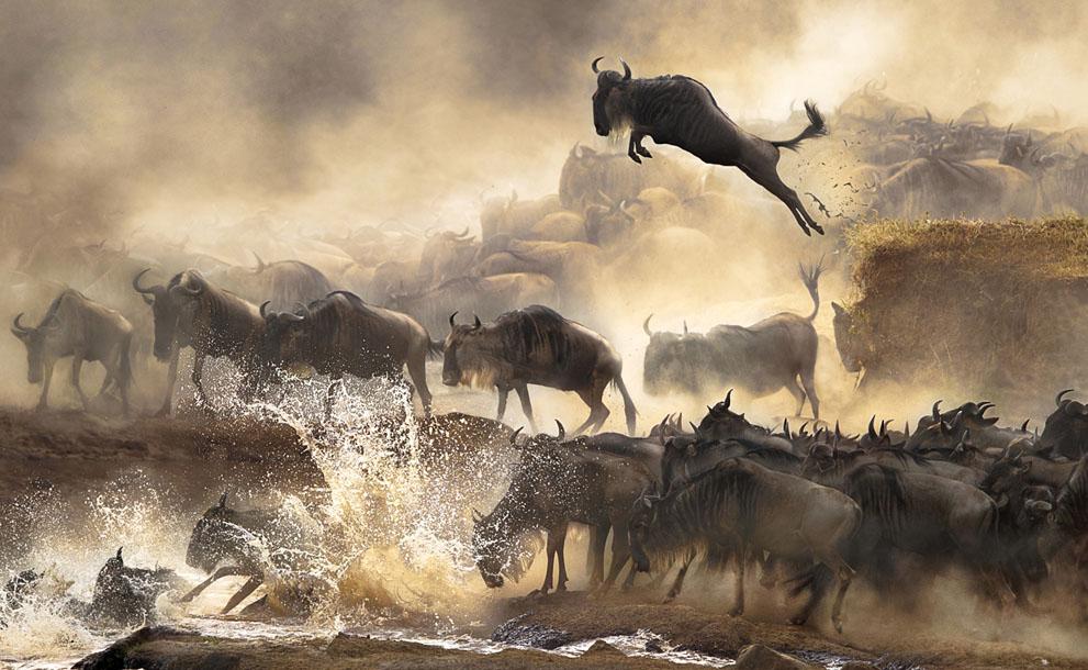 Wildebeest airborne